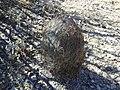 Echinomastus unguispinus.jpg