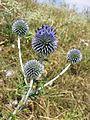 Echinops ritro subsp. ruthenicus sl5.jpg