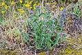 Echium vulgare in Tarn.jpg