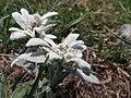 Edelweiss, South Tyrol 04.jpg