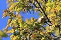 Eichengallapfel im Frühjahr.jpg