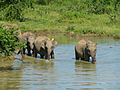 Eléphants-Uda Walawe National Park (5).jpg