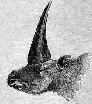 Elasmotherium - First published restoration (1878) of E. sibiricum, by Rashevsky, under supervision of A.F. Brant