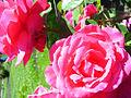 Electron Rose Variety 2 (4426883672).jpg