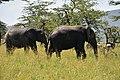 Elephants in the Serengeti (7) (28532487921).jpg