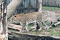 Em - Panthera pardus - 3.jpg