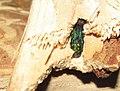 Emerald Ash Borer in firewood (5815090297).jpg