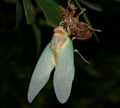 Emerging Cicada.png