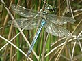 Emperor Dragonfly (Anax imperator) - geograph.org.uk - 430515.jpg