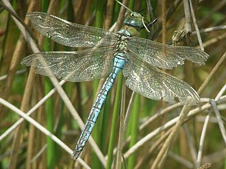 Cotswold Water Park - Example: emperor dragonfly (Anax imperator)