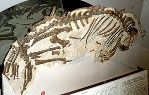 Pinniped - Fossil of Enaliarctos
