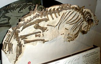 Pinniped - Fossil of Enaliarctos