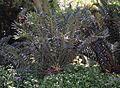 Encephalartos arenarius 1.jpg