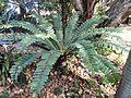 Encephalartos ferox, Ou Fort, Durban.jpg