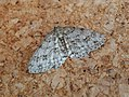 Engrailed probably (36624137386).jpg