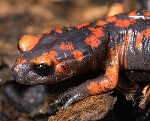 Ensatina - E. e. platensis from Fresno County, California