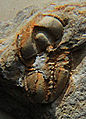 Eodiscus punctatus head up CRF.jpg