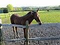 Equus caballus - 014.jpg