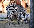 Equus zebra - Disney's Animal Kingdom Lodge, Orlando, Florida, USA - 20100119 - 02.jpg