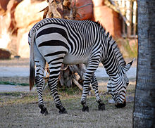 Equus zebra - Disney's Animal Kingdom Lodge, Orlando, Florida, USA - 20100119 - 02.jpg