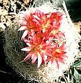 Eriosyce gerocephala.jpg