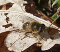 Eristalis pertinax female - Flickr - gailhampshire.jpg