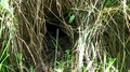 File:Erithacus rubecula feeding the chicks.ogv