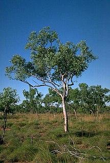 <i>Eucalyptus brevifolia</i> species of plant