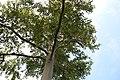 Eucalyptus deglupta 8zz.jpg
