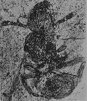 1930 in paleontology - Eulithomyrmex rugosus