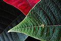 Euphorbia (11130452895).jpg