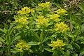 Euphorbia austriaca (Österreich-Wolfsmilch) IMG 9618.JPG