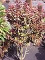 Euphorbia bicompacta PM1.jpg