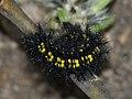 Euphydryas maturna (larva) - Scarce fritillary (caterpillar) - Шашечница матурна (гусеница) (40439966474).jpg