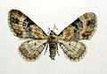 Eupithecia linariata.jpg