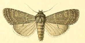 Euxoa birivia, Männchen (aus Seitz, 1909)
