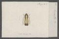 Evacanthus - Print - Iconographia Zoologica - Special Collections University of Amsterdam - UBAINV0274 042 06 0012.tif