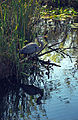 Everglades08(js)-Great Blue Heron.jpg