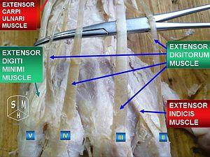 Extensor digitorum muscle - Image: Extensor digitorum muscle