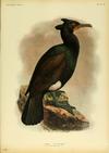 Extinctbirds1907 P39 Carbo perspicillatus0369