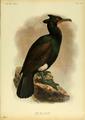 Extinctbirds1907 P39 Carbo perspicillatus0369.png