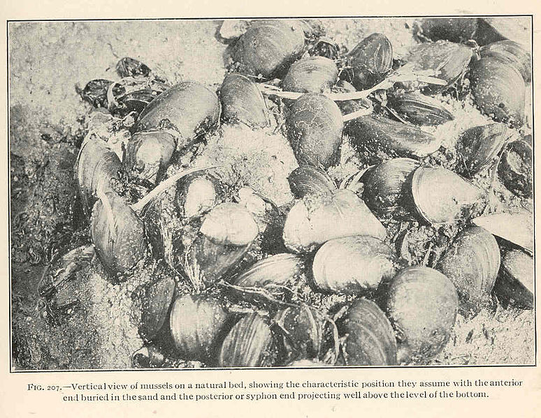 File:FMIB 39037 Vertical view of mussels on a natural bed, showing the characteristic position they assume with the anterior end buried in the.jpeg