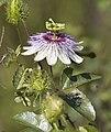 FP110216-065 - Passion Flower (5495193653).jpg