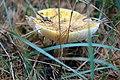 Fall Mushroom (15272651670).jpg