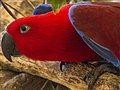 Female Eclectus Parrot NQld-1 (11886927283).jpg