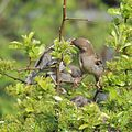 Female house sparrow (Passer domesticus) feeding her young, Sandy, Bedfordshire (8769942203).jpg