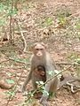 Female monkey with her child.jpg