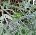 Female speckled bush-cricket (Leptophyes punctatissima) on lavender, Sandy, Bedfordshire (7915548272).jpg