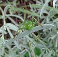 Female speckled bush-cricket (Leptophyes punctatissima) on lavender, Sandy, Bedfordshire (7915548272).jpg