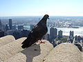 Feral pigeon -Empire State Building, New York City, USA-31Aug2008b.jpg
